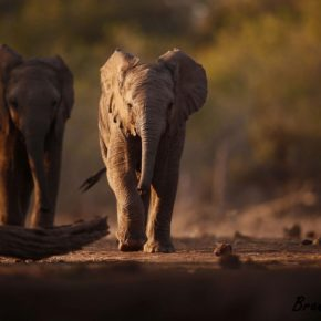 Thirsty Young Elephant