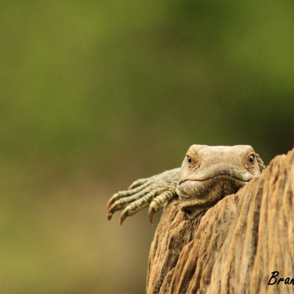Lazing Lizzard