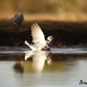 Dove in water