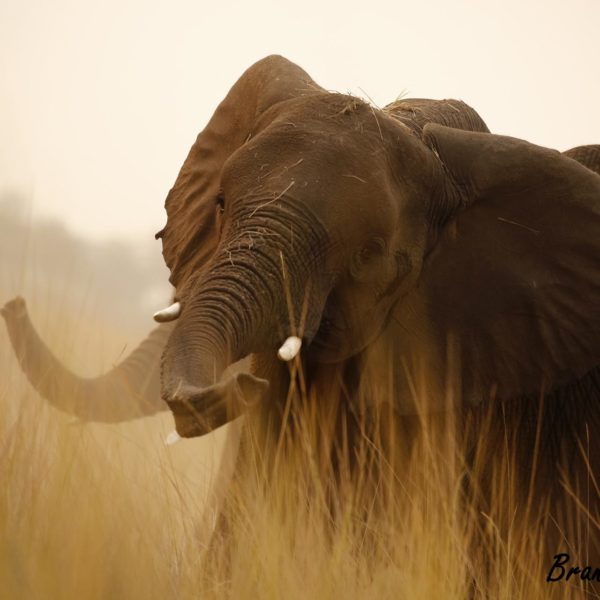 Elephant shaking off dust