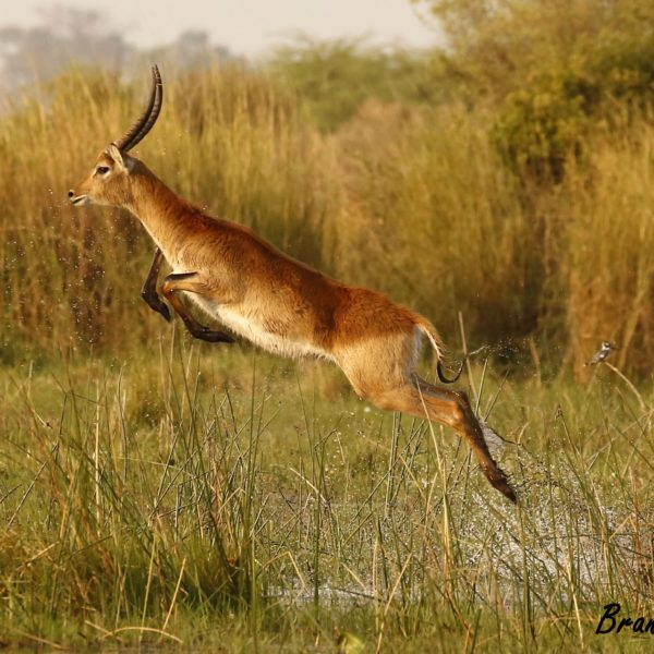 The Aquabatic Antelope